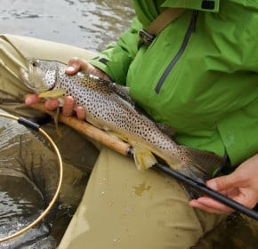 A large brown trout on tenkara