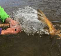 Large brown release