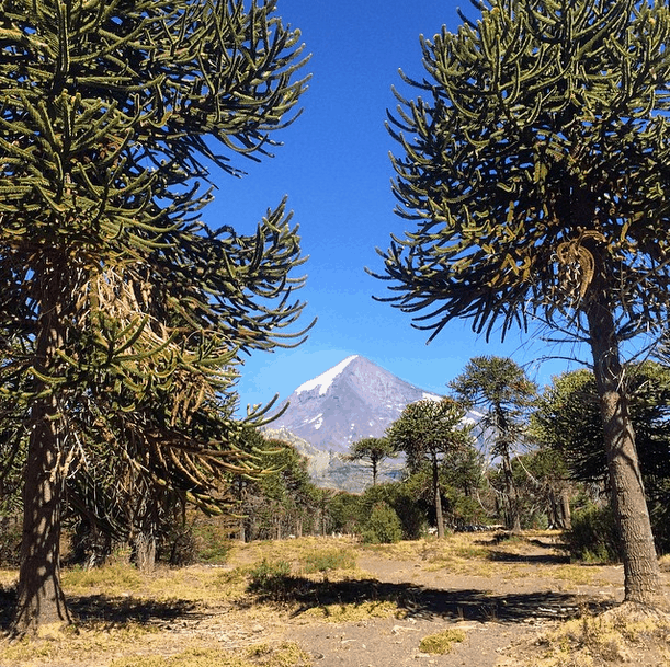 Fishing with araucaria trees in Argentina