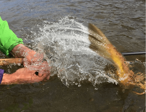 Brown trout tail release