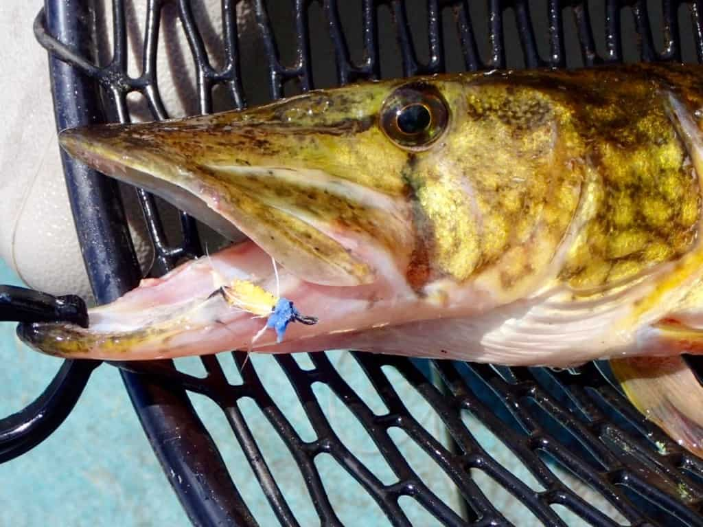 Pickerel on the James Wood Fly and tenkara