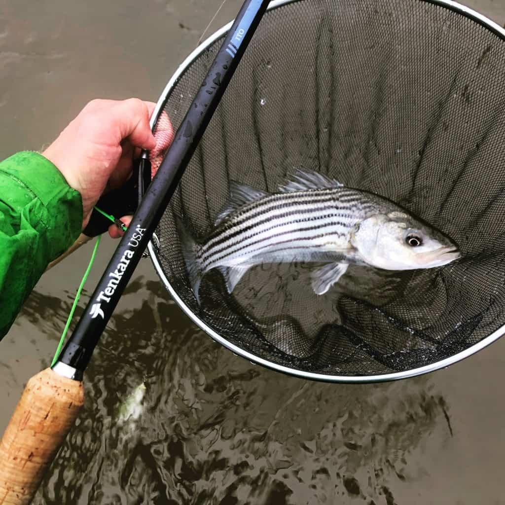 Striped bass on tenkara ito rod