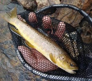 Brown trout, Dennis Michael